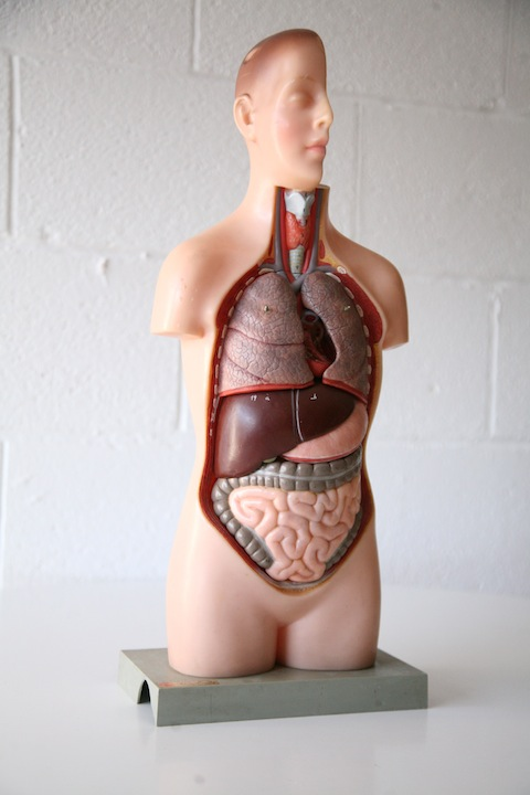 Plastic Anatomical Model1